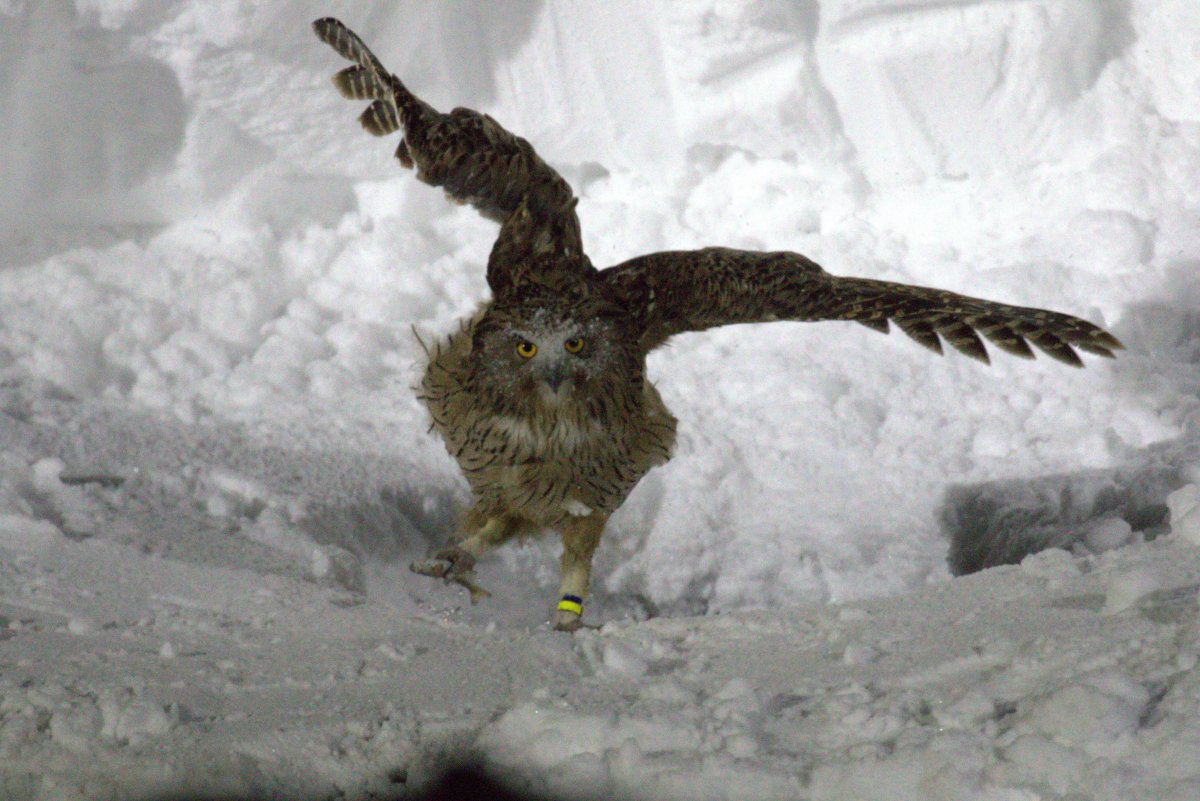 The story of the Fish Owl
