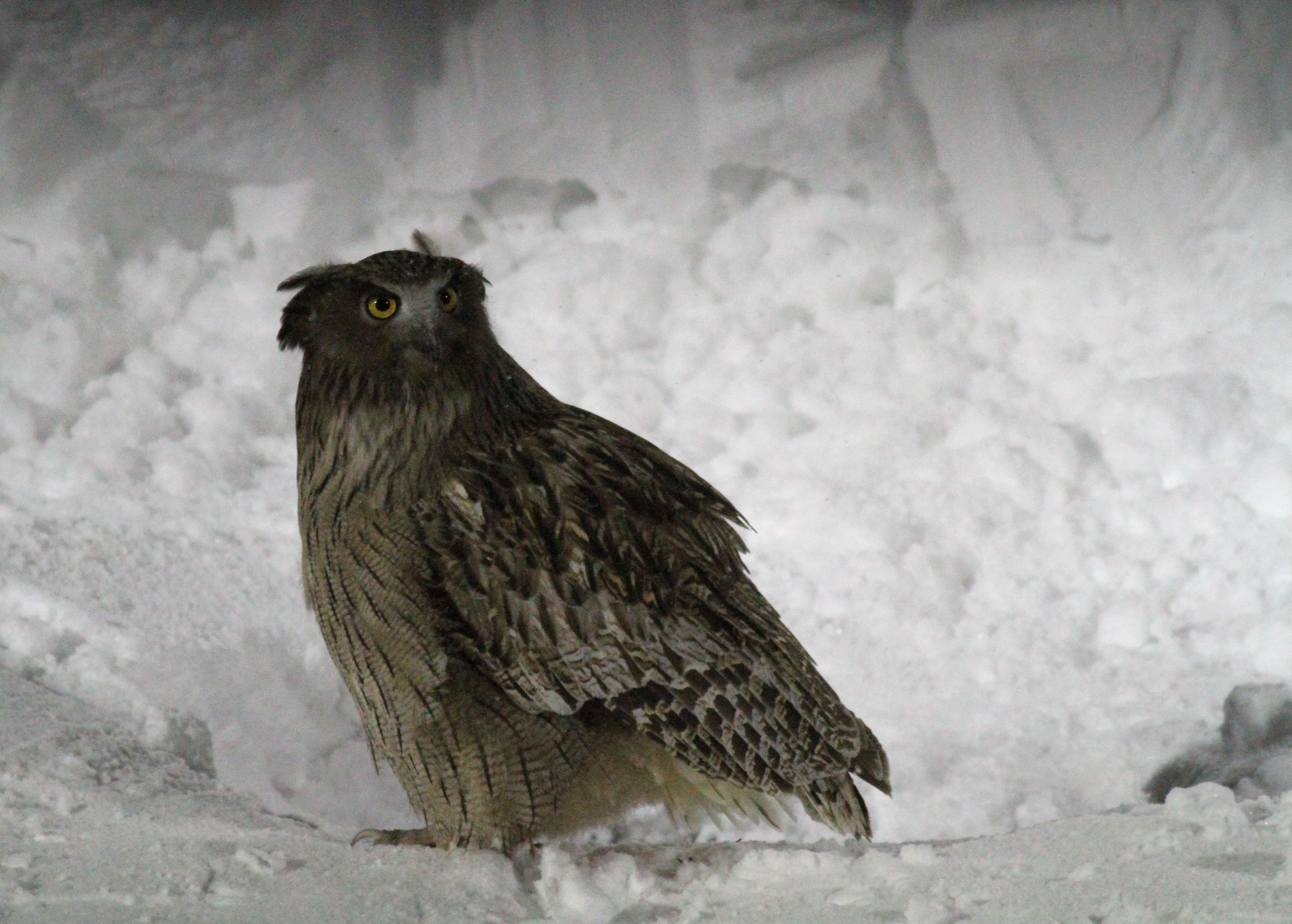 The story of the fish owl budget birders for Do owls eat fish
