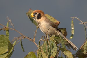 Spot-breasted Parrotbill