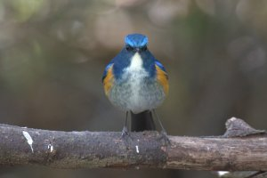 Himalayan Blue Tail