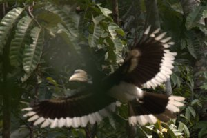 Oriental Pied Hornbill. Can't win them all but this bird's bill is insane!