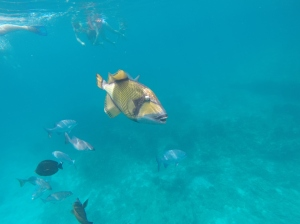 A rather large and friendly triggerfish