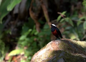 White-capped Water Redstart