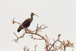White-shouldered Ibis