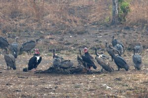 3 species of vulture