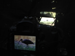 Giant Ibis were definitely the highlight of the trip. Seriously, WHO sees this bird well enough to take this picture?!