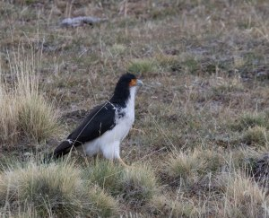White-throated Caracara