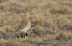 Tawney-throated Dotterel