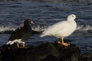 Male (white) and Female Kelp Geese