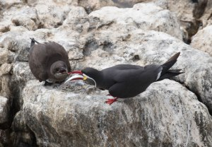 Inca Tern feeding a young bird a recently caught fish!