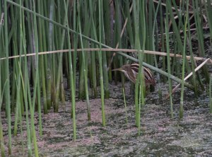 Stripe-backed Bittern skulking around the reed bed.
