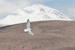 Andean Gull flying in Lauca National Park