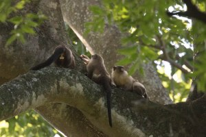 White-eared Titi Monkey