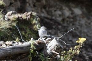 Andean Boulder Finch