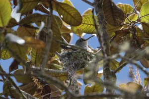 Green-and-White Hummingbird on a nest