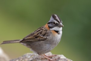 Rufous-crowned Sparrow - one of the most common birds in all of South America
