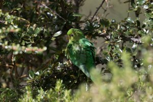 Mountain Parakeet