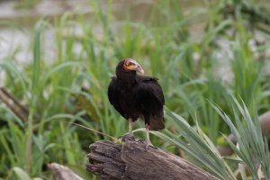 Yellow-headed Vulture seen while headed to the lodge