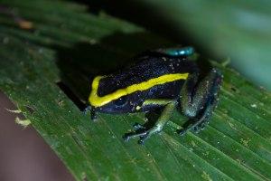 Poison Dart Frog (species unknown)