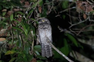 Common Potoo seen during our night boat ride