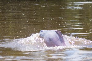 While out on the river we also had great views of Pink River Dolphins!