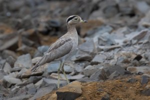 The Peruvian Thick Knee is a strange looking bird if you ask me!