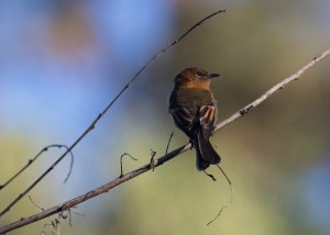 Cinnamon Flycatchers are common in Peru but they are still fun to watch as they perch up waiting to catch a bug.