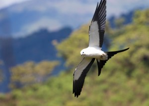 Swallow-tailed Kites flying so close!