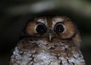 Cloud Forest Screech Owl