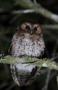 Cloud Forest Screech Owl