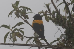 Mountain Tanager covered in fog.