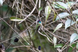 Marvelous Spatuletail is unmistakable with a tail like that!