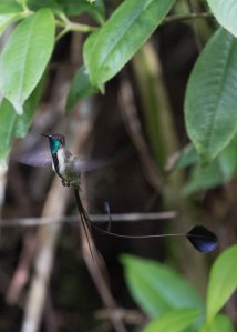 Marvelous Spatuletail in flight. The tail just bobs along behind him.