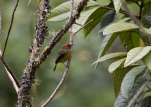 Lulu's Tody-flycatcher