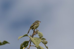 We finally saw a Mishana Tyrannulet! About time!