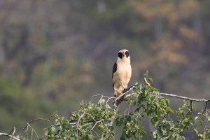 Our last bird we saw in the canyon was this Laughing Falcon watching us as we walked out.