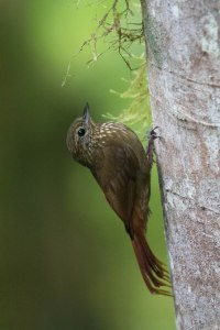 We saw this Wedge-billed Woodcreeper on our first day in Pinas.