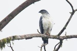 Grey-backed Hawk