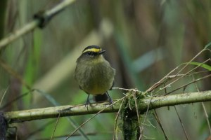Yellow-browed Chat-tyrant