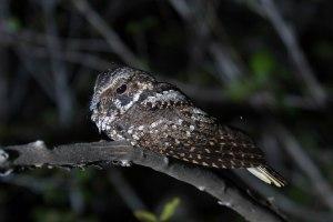 Puerto Rican Nightjar