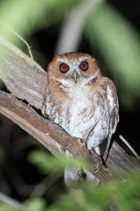Puerto Rican Screech Owl