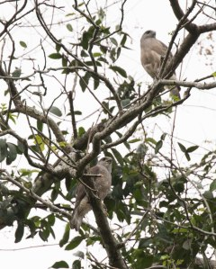 Presumably a nesting pair of Ridgeway's Hawks!