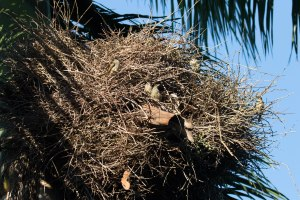 Palm Chat at its communal nest.