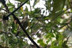 Negros-striped Babbler