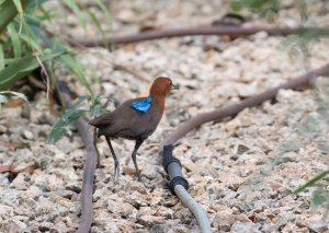 Slaty-legged Crake running around the grounds with a piece of blue tape stuck to its back.
