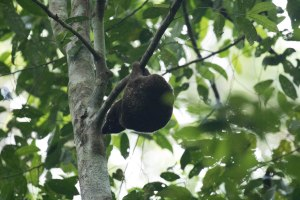 Colugo (flying lemur)