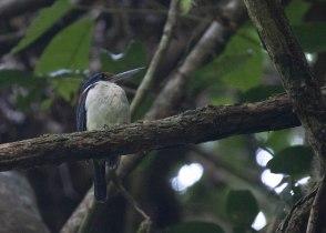 Rufous-lored Kingfisher