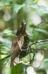 Philippine Frogmouth on nest