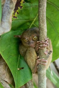The super cute and tiny Tarsier!