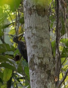 Southern Sooty Woodpecker